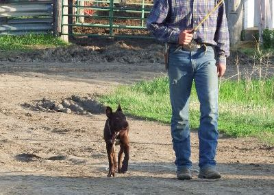 how we train cowdogs at dagley ranch