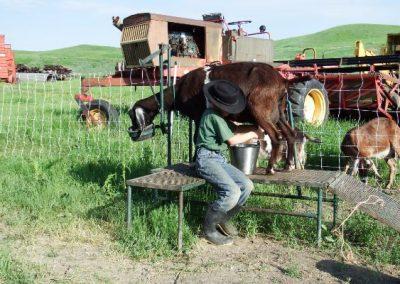 Ephraim milking a goat