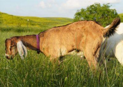 goats in south dakota