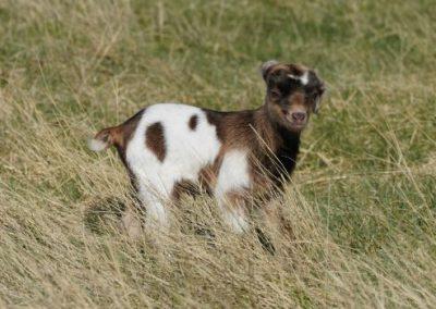 Percentage Kiko doe for sale near South Dakota