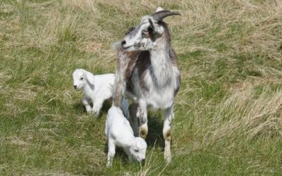 Why DNA Test Kiko Goats?