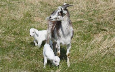 Why DNA Test Kiko Goats?