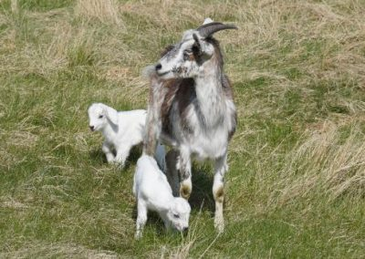 Kiko goats for sale near South Dakota