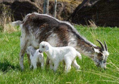 Kiko goats for sale in South Dakota