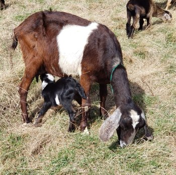 Nubian goats for sale