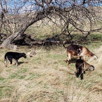 Registered Kiko Goats for sale