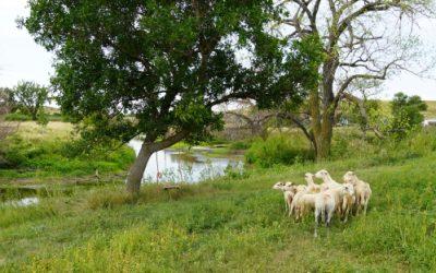 Our Newest Venture… Katahdin Sheep!