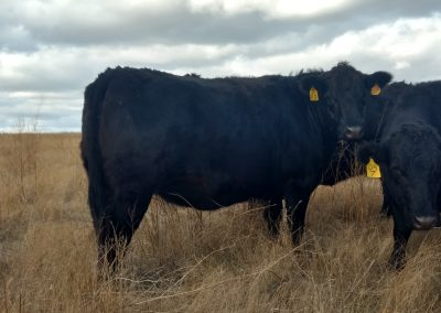 Grass Fattened Beef near South Dakota