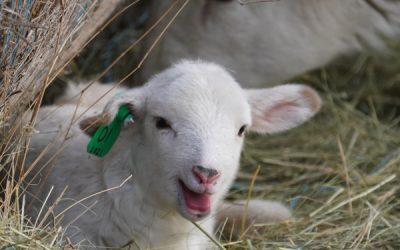 It's Lambing Time in South Dakota!