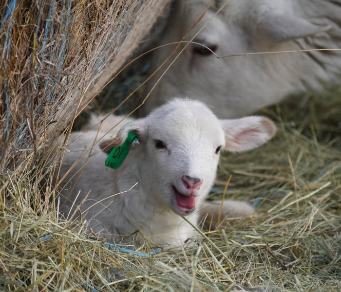 Katahdin Lamb - South Dakota