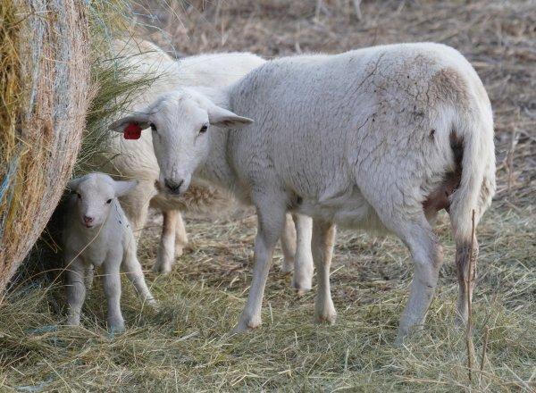 katahdin sheep and lamb